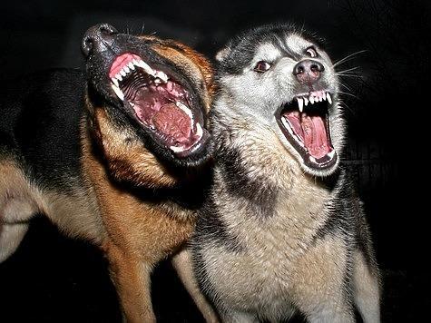 Идеальный вариант— поучаствовать вохотах ссобаками тех пород, ккоторым начинаешь склоняться всвоем выборе. Фото: Fotolia.com