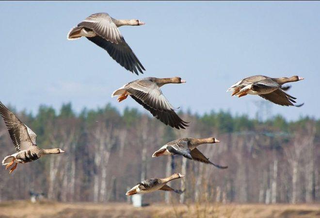 Гуси - осторожные и пугливые птицы, поэтому обойтись без хитростей во время охоты не удастся