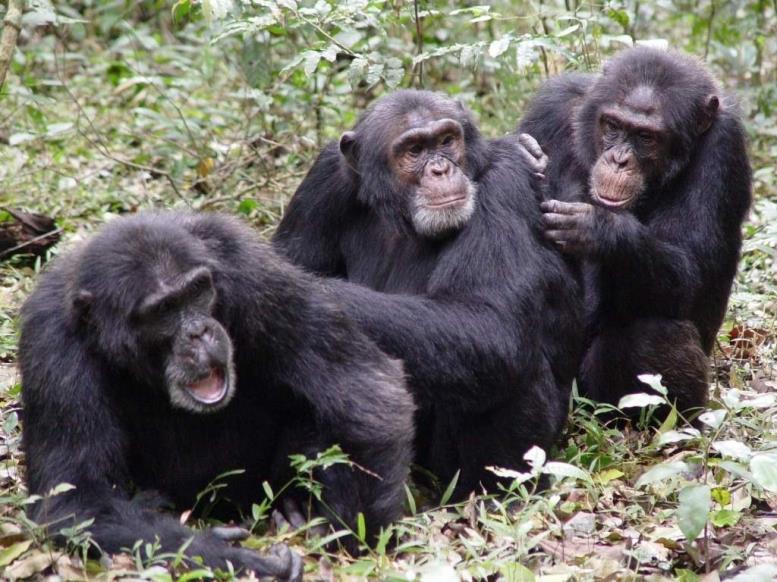 У обезьян груминг устанавливает психологические связи, формирует иерархию и социальную структуру семейств.