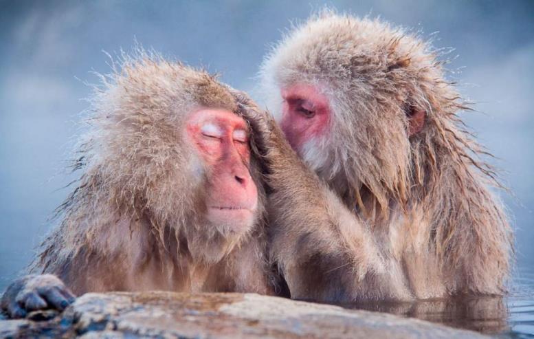 Отыскиванием паразитов в шерсти друг друга приматы проявляют знаки внимания.