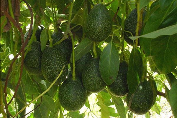 созревает авокадо