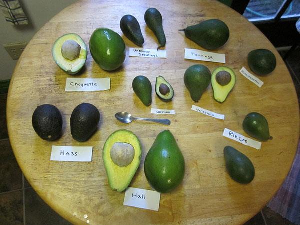 авокадо разных сортов