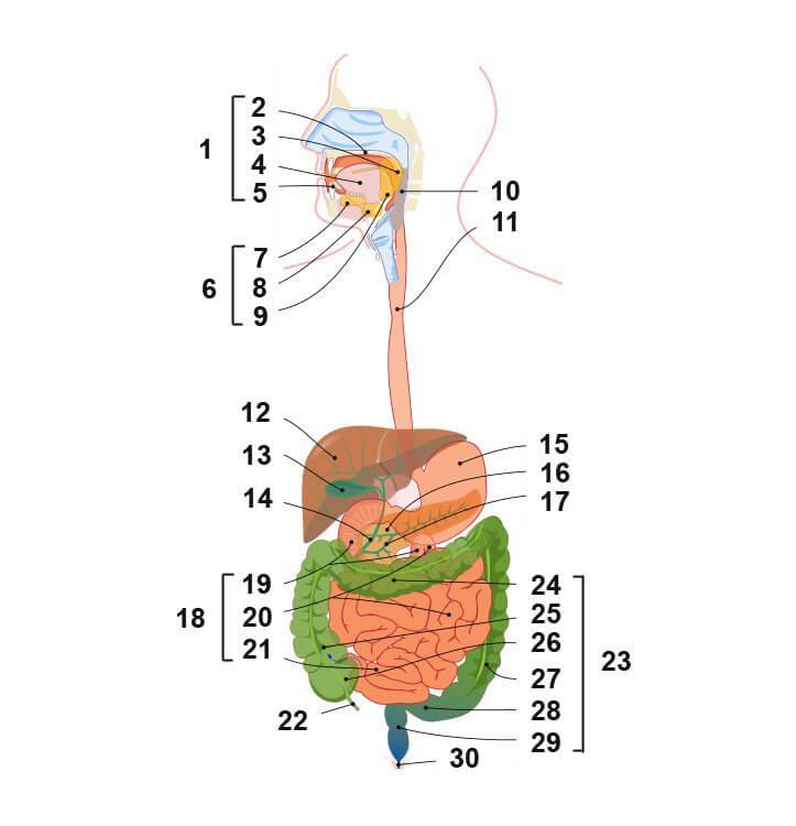 строение и функции пищеварительной системы человека