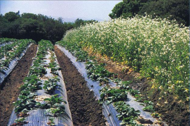 Растояние при посадке клубники в открытый грунт