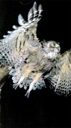 Рыбный филин. Тростниковая сутора. Снимки этих редких птиц сделаны Юрием Шибневым в Приморье, на озере Ханка, и во время плавания с В. Поливановым по реке Бикин.
