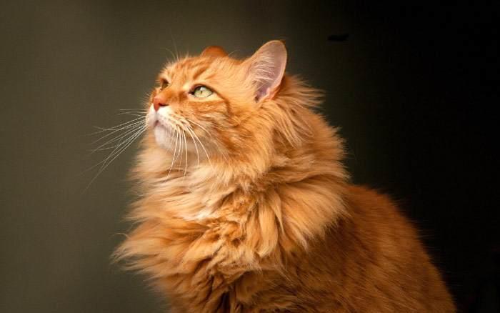 Сибирская кошка, фото фотография