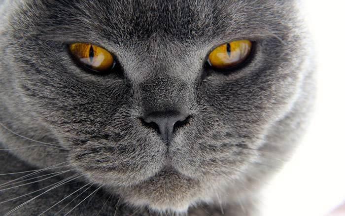 Британский короткошерстный кот, фото фотография