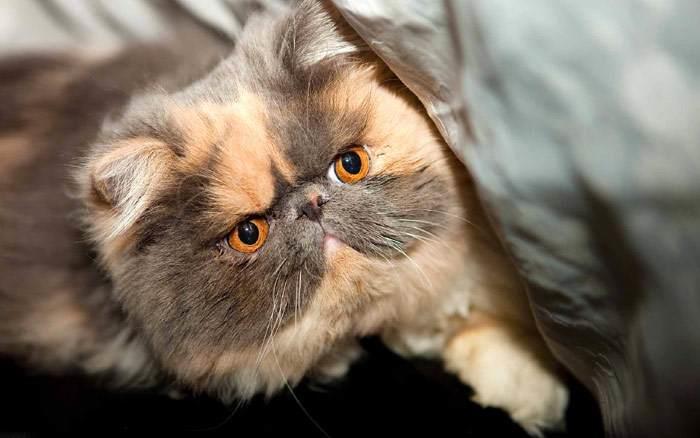 Экзотическая короткошерстная кошка, фото фотография
