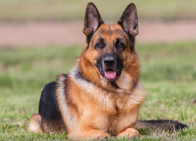 какая порода собак лучше немецкая овчарка
