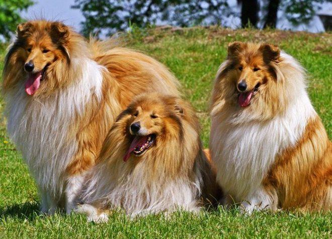 какая порода собак лучше колли