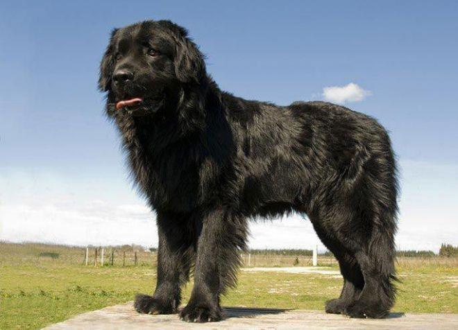 лучшие собаки для детей ньюфаундленд