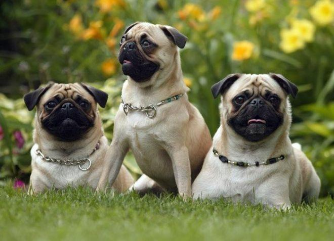 лучшие породы собак для квартиры мопсы