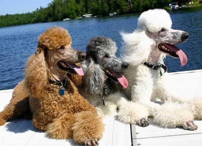 лучшие породы собак для квартиры пудель