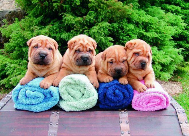 лучшие породы собак для квартиры шарпей
