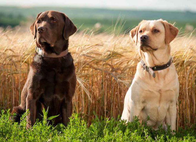 какая порода собак лучше лабрадор
