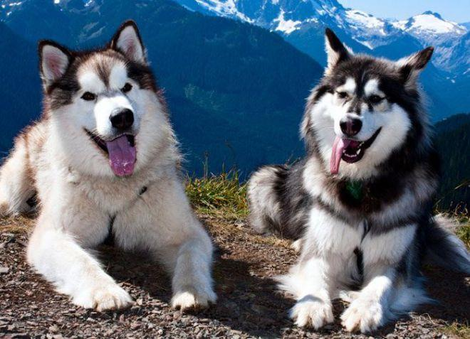 как выбрать собаку для охоты маламут