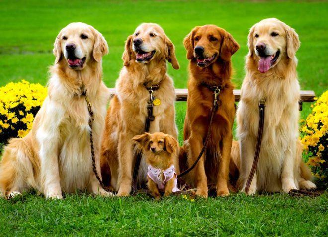 как выбрать собаку для охоты ретриверы