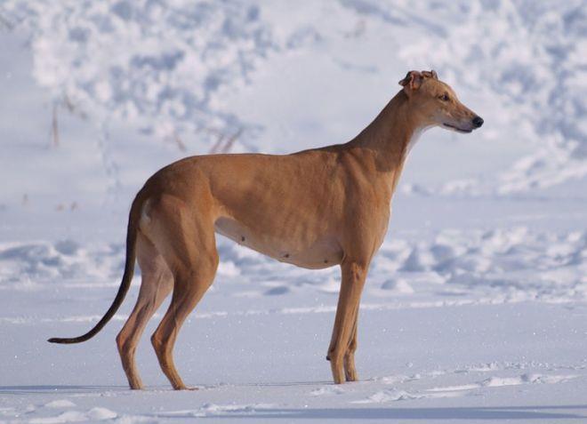 как выбрать собаку для охоты грейхаунд