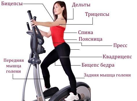 Какие мышцы работают во время тренировок на эллипсоиде