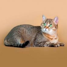 Кельтская кошка (Европейская короткошерстная)