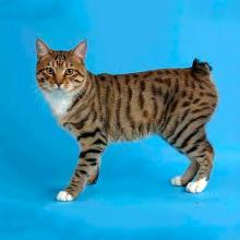 Мэнкс (Мэнская бесхвостая кошка)