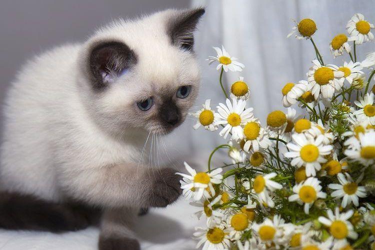 Сиамский котенок и ромашки