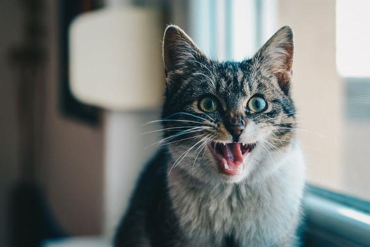 Кошечка мяукает
