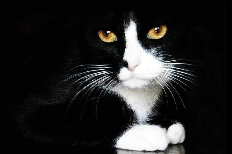 Кот с белыми лапками