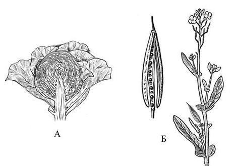 Кочан и стручок капусты