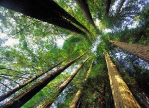 возраст леса важен при выборе древисины