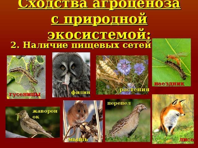 Сходства агроценоза с природной экосистемой: 2. Наличие пищевых сетей наездник растения филин гусеницы перепел жаворонок лиса мышь