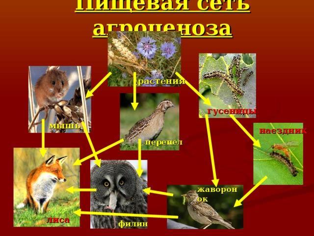 Пищевая сеть агроценоза растения гусеницы мышь наездник перепел жаворонок лиса филин