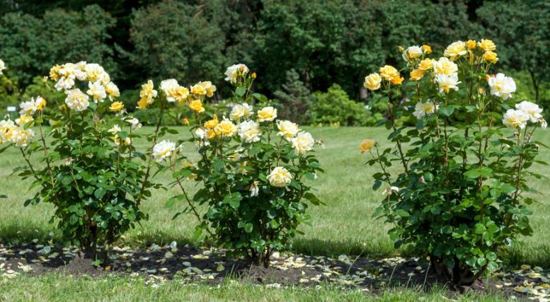 Место для роз