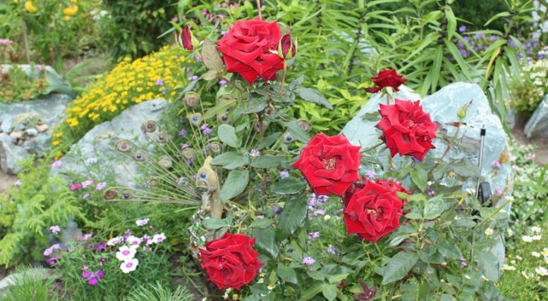 Куда посадить розы