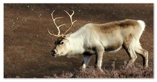 Угроза исчезновения северного оленя миновала.